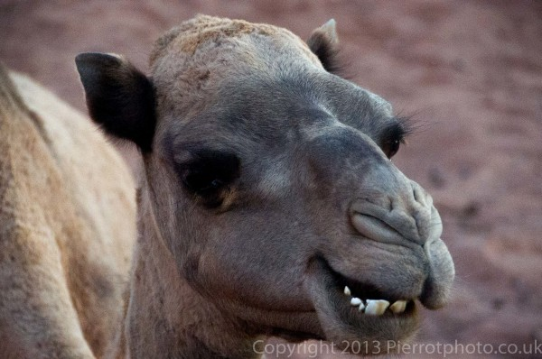 Closeup of camel in the Sahara desert, Morocco