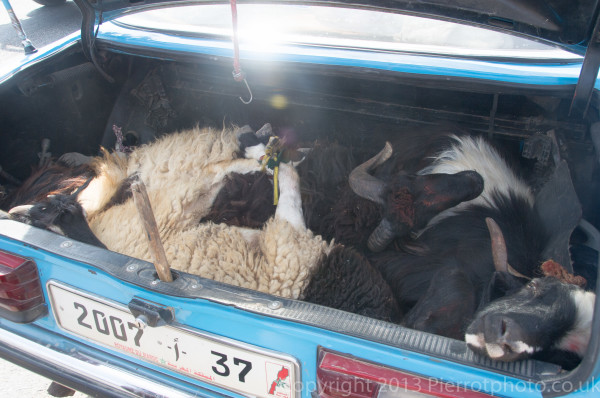 Sheep being transported, in a taxi, in readiness for the slaughter for the festival of Eid al Ahad in Morocco
