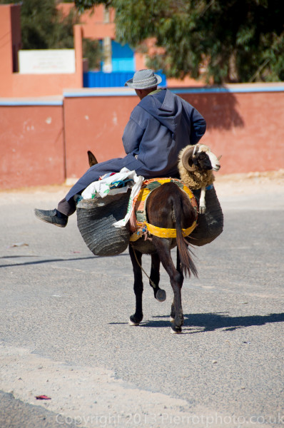 Sheep being transported by donkey, in preparation for the festival of Eid al Ahad, Morocco